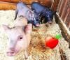 Мини-пиги в контактном зоопарке