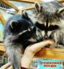 Ручные еноты в зоопарках Санкт-Петербурга