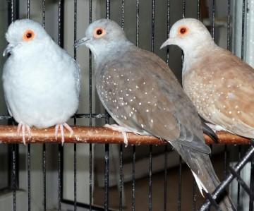 Декоративные голуби горлицы или горлинки