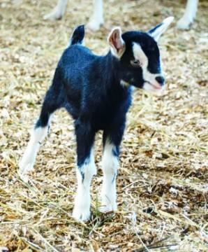 Новорожденный козлёнок