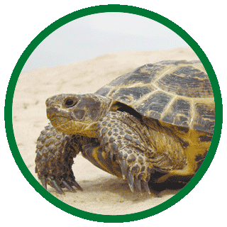 Азиатские сухопутные черепахи