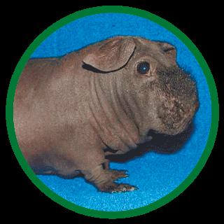 Свинки морские скинни