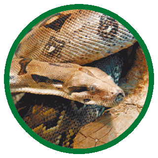 Змея Удав